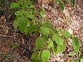 Clidemia hirta - Flickr - Tarciso Leão.jpg