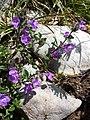 Clinopodium alpinum subsp. alpinum sl2.jpg