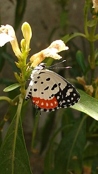 Close wing position of Talicada nyseus Guérin-Méneville, 1843 – Red Pierrot-Beauty is here.jpg
