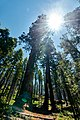 Clothespin Sequoia in Yosemite (29515633208).jpg