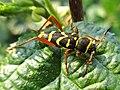 Clytus arietis (Cerambycidae sp.), Elst (Gld), the Netherlands.jpg