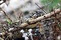 Coast horned lizard hangin' out in restored habitat (34744189982).jpg