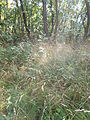 Cobweb. Apáti hill forest. - Tihany Peninsula, Hungary.JPG