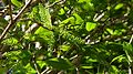 Coccoloba oblonga Lindau - Flickr - Alex Popovkin, Bahia, Brazil (19).jpg