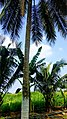 Coconut palm trees Limewashed - In Coimbatore District.jpg