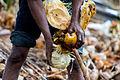 Coconuts harvesting in Tanzania.jpg