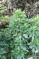 Codiaeum variegatum 9zz.jpg