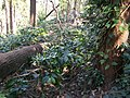 Coffee plantation in Araku Valley 05.jpg