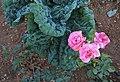 Col i roses per les Eres, Gata.jpg