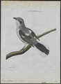 Collyrio excubitor - 1790-1796 - Print - Iconographia Zoologica - Special Collections University of Amsterdam - UBA01 IZ16600385.tif