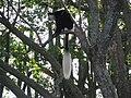 Colobus monkey (7513453546).jpg