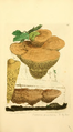 Coloured Figures of English Fungi or Mushrooms - t. 181.png