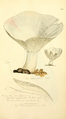 Coloured Figures of English Fungi or Mushrooms - t. 244.png