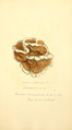 Coloured Figures of English Fungi or Mushrooms - t. 346.png