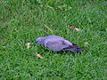 Columba oenas King George's Park 1.jpg