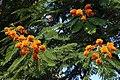 Colvillea racemosa 50D 5956.jpg