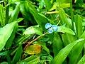 Commelina clavata- Willow Leaved Dayflower 3.jpg