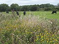 Common Fleabane and cattle in a Thames side meadow - geograph.org.uk - 952247.jpg