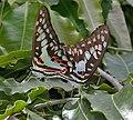 木蘭青鳳蝶