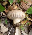Common Puffball. Lycoperdon species - Flickr - gailhampshire.jpg