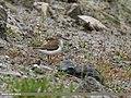 Common Sandpiper (Actitis hypoleucos) (38741832415).jpg