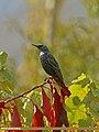 Common Starling (Sturnus vulgaris) (23097487914).jpg