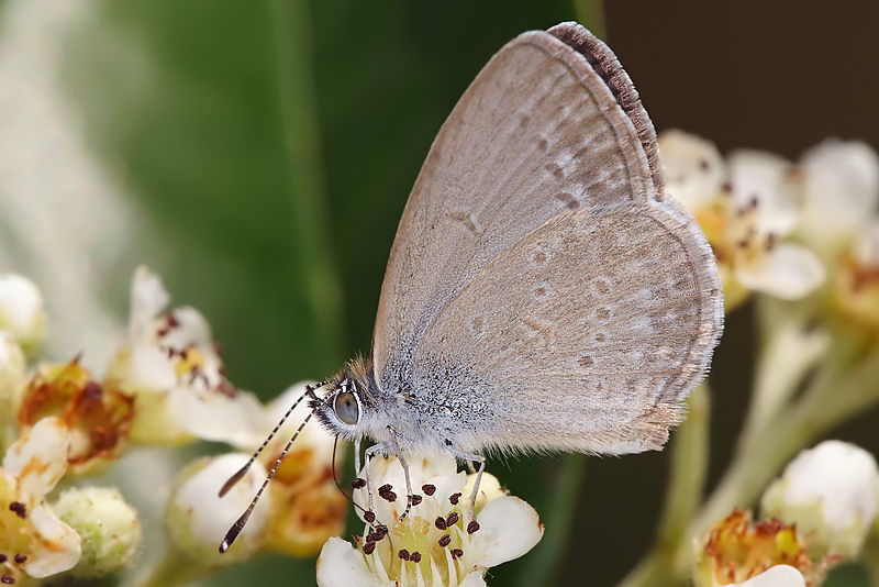 File:Common grass blue.jpg