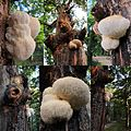 Composition of Hericium erinaceus (Bearded Tooth or Lion's Mane Mushroom, D= Igel-Stachelbart or Löwenmähne, F= Hydne hérisson, NL= Pruikzwam) at 21 September 2015. The manes are growing long. With sunshine it looks - panoramio.jpg