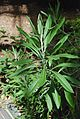 Conservatoire botanique national de Brest Cheirolophus massonianus 2015-07-04 Philweb (19414552625).jpg