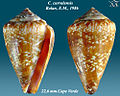 Conus curralensis 2.jpg