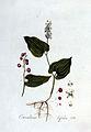 Convallaria bifolia — Flora Batava — Volume v3.jpg