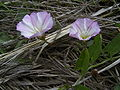 Convolvulus arvensis bloemen.jpg