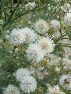 Conyza bonariensis seed heads and flowers.jpg