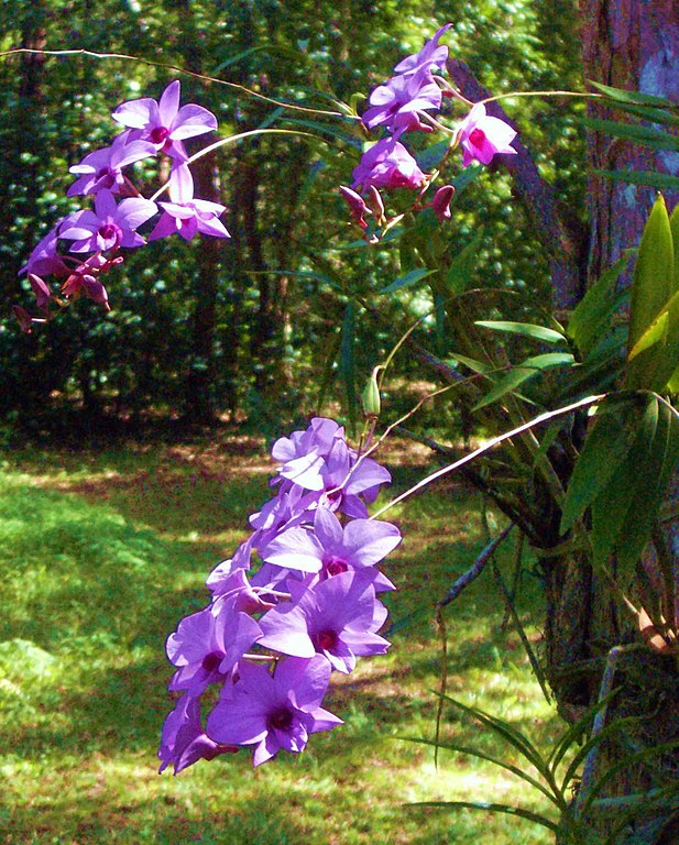 Cooktown Orchid (Dendrobium bigibbum, Dendrobium phalaenopsis or Vappodes phalaenopsis)