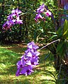 Cooktown orchids.jpg