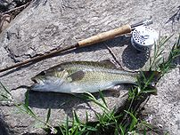 Spotted Bass From The Coosa River, Wetumpka, A...