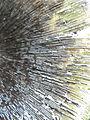 Coprinopsis atramentaria R.H 08.jpg