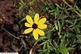 Coreopsis tripteris 3zz.jpg
