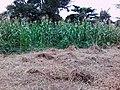 Corn Farm, Kumba.jpg