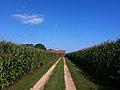 Cornfield - panoramio.jpg