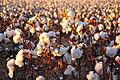 Cotton field kv28.jpg
