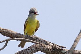 Couch's Kingbird-Bentsen-Rio Grande SP-TX - 2015-05-09at11-17-231 (21421881589).jpg