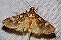 Crambid Moth (Cotachena pubescens) (22911404494).jpg