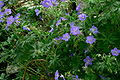 Cranesbill in full bloom.jpg