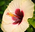 Cream & Burgundy Colored Hibiscus (6870645180).jpg