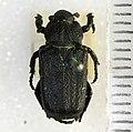 Cremastocheilus angularis Leconte, 1857 - 5450720303.jpg