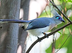 Crested Coua RWD3.jpg
