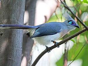 Crested coua - Image: Crested Coua RWD3