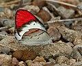 Crimson Tip (Colotis danae) W IMG 0603.jpg