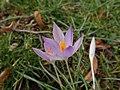 Crocus tommasinianus 62601038.jpg